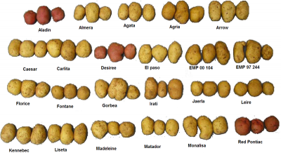 800px-Several_varieties_of_potatoes